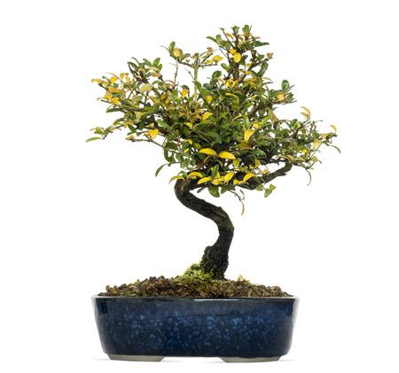 bonsai tree: Honeysuckle bonsai tree, Lonicera caprifolium, isolated on white