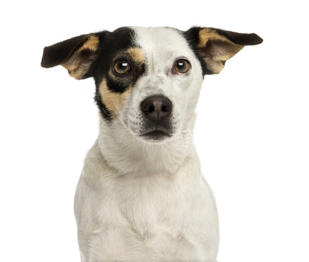 Close-up of a Jack russel terrier, isolated on white photo