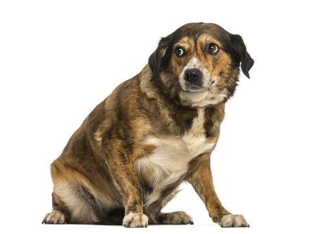 intimidated: Crossbreed dog sitting, looking intimidated, isolated on white