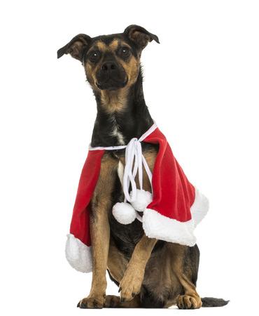 perros vestidos: Cruce de perro que lleva un cabo de navidad, sentado, aislado en blanco Foto de archivo