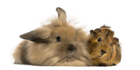 Angora rabbit and Guinea pig, isolated on white photo