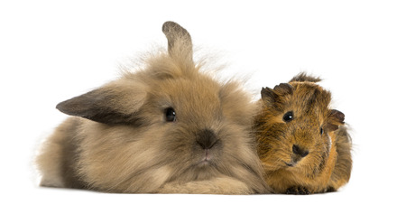 bunny rabbit: Angora rabbit and Guinea pig, isolated on white