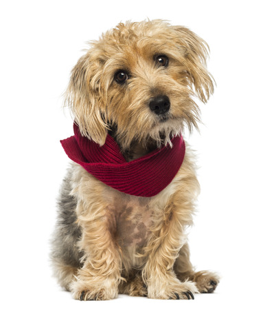 lucas: Front view of a Lucas terrier sitting, wearing a scarf, isolated on white