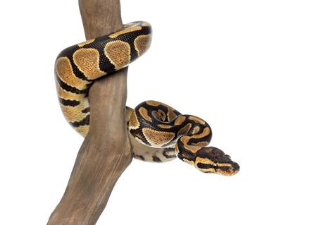 royal python: Royal python on a branch, Python regius, isolated on white Stock Photo