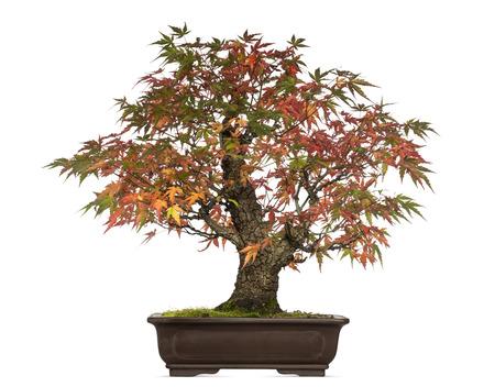 acer: Acer japonicum bonsai tree, isolated on white Stock Photo