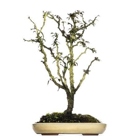 bonsai tree: Japanese Cherry bonsai tree, Prunus serrulata, isolated on white