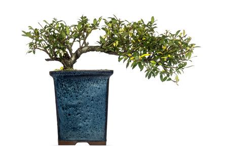 chinese holly: Ilex bonsai tree, isolated on white