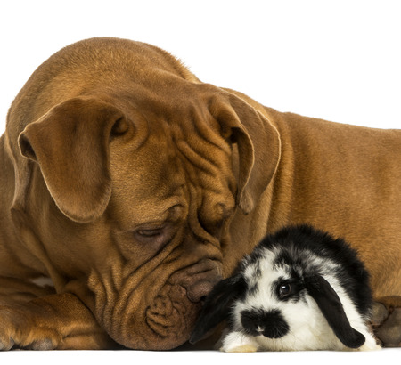 lop lop rabbit white: Close-up of a Dogue de Bordeaux sniffing a Lop rabbit, isolated on white
