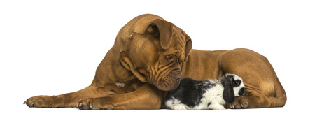 lop lop rabbit white: Dogue de Bordeaux and Lop rabbit lying together, isolated on white
