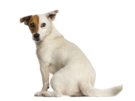 jack russel: Rear view of a Jack russel terrier looking back, isolated on white