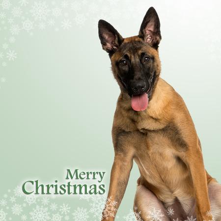 panting: Belgian Shepherd Dog puppy panting, on a christmas background Stock Photo