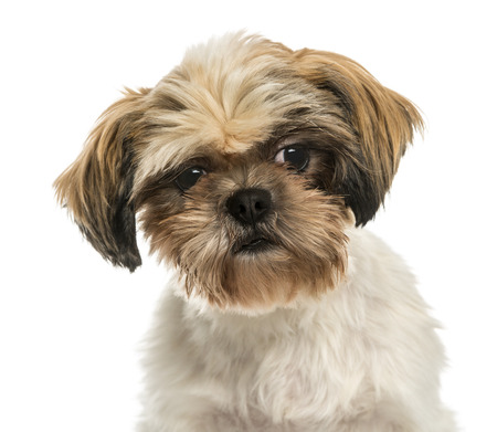 Close-up of a Shih tzu, isolated on white photo
