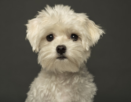 maltese dog: Close-up of a Maltese puppy, isolated on a grey background Stock Photo