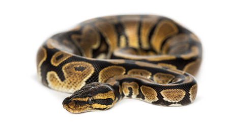 royal python: Royal python, Python regius, isolated on white