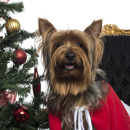 Close-up of a Yorkshire Terrier in a christmas setting, panting, isolated on white photo