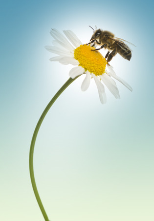 apis: European honey bee gathering pollen on a daisy, Apis mellifera, on a blue background