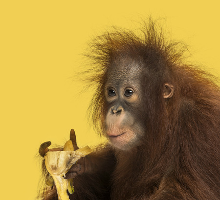pongo: Close-up of a young Bornean orangutan eating a banana, Pongo pygmaeus, 18 months old, on a yellow background