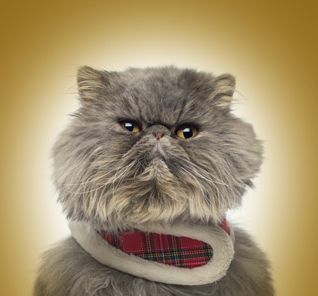 grumpy: Front view of a grumpy Persian cat wearing a tartan harness on a golden background