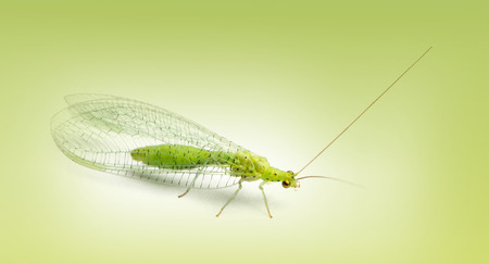 lacewing: Common green lacewing, Chrysoperla carnea, on a green gradient background Stock Photo