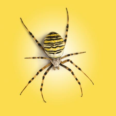 argiope: a Wasp spider, Argiope bruennichi on a yellow background Stock Photo