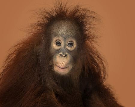 orangutan: Young Bornean orangutan, Pongo pygmaeus on a brown background