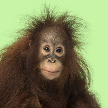 Young Bornean orangutan looking at the camera, Pongo pygmaeus, 18 months old, on a green background photo