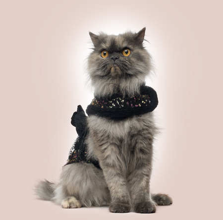sullenly: Grumpy Persian cat wearing a shiny harness, sitting, on a beige background