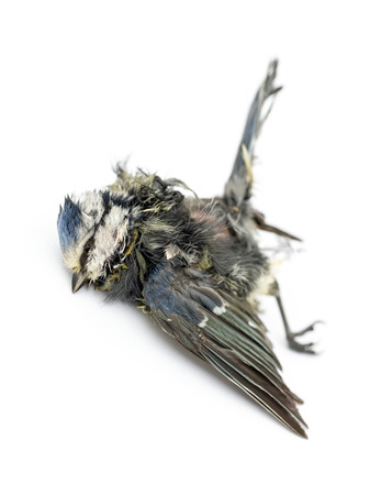 cyanistes: Dead Blue tit lying on the back, in state of decomposition, Cyanistes caeruleus, isolated on white Stock Photo