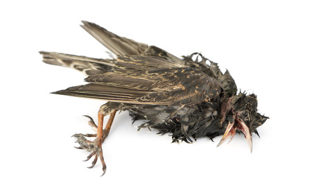 Side view of a dead Common Starling in state of decomposition, Sturnus vulgaris, isolated on white photo