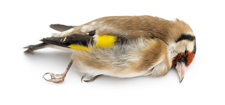 goldfinch: Side view of a dead European Goldfinch, Carduelis carduelis, isolated on white Stock Photo