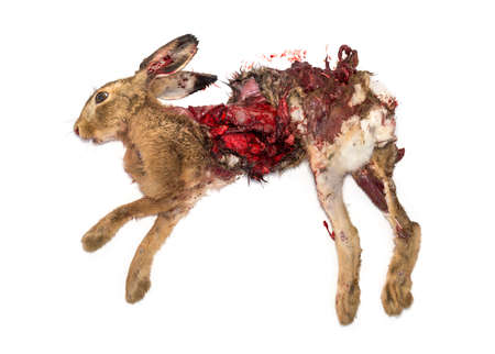 Roadkill dead Hare lying on the side, isolated on white Stock Photo