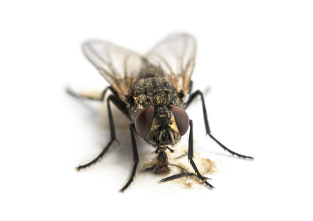 housefly: Dirty Common housefly eating, Musca domestica, isolated on white