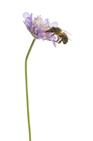 apis: European honey bee landed on a flowering plant, foraging, Apis mellifera, isolated on white