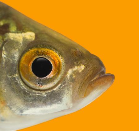 rutilus: Close-up of a Common roach profile, Rutilus rutilus, on an orange background Stock Photo