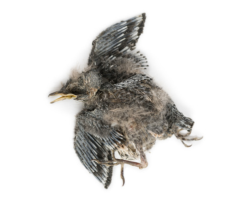 decomposition: Dead baby Swallow in state of decomposition, Hirundinidae, isolated on white