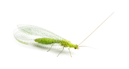 chrysoperla: View from up high of a Common green lacewing, Chrysoperla carnea, isolated on white