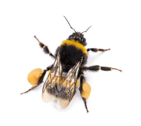 bombus: View from up high of a Buff-tailed bumblebee, Bombus terrestris, isolated on white Stock Photo