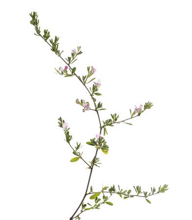 flowering plant: Fioritura delle piante selvatiche, isolato su bianco