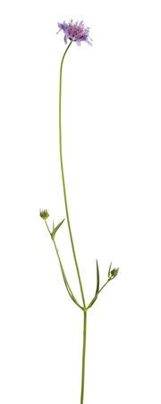 flowering plant: Pianta a fiore selvaggio, isolato su bianco Archivio Fotografico
