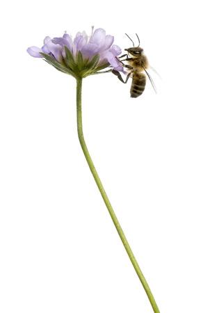 flowering plant: Vista laterale di un ape europea atterrato su una pianta a fiore, foraggiamento, Apis mellifera, isolata su bianco