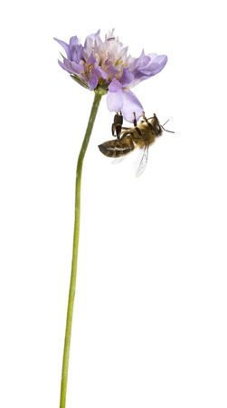 landed: European honey bee landed on a flowering plant, foraging, Apis mellifera, isolated on white