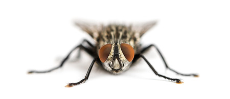 Front view of a Flesh fly facing, Sarcophagidae, isolated on white photo
