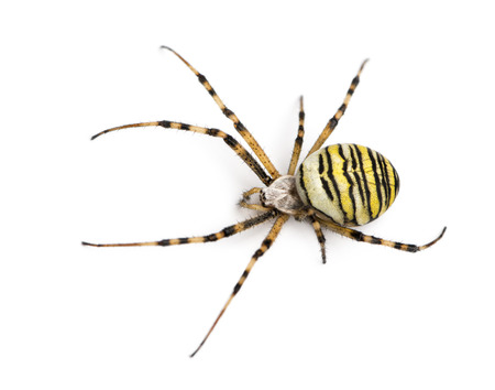 Wasp spider viewed from up high, Argiope bruennichi, isolated on white photo