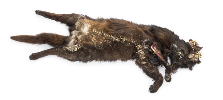 Roadkill cat in state of decomposition, isolated on white photo
