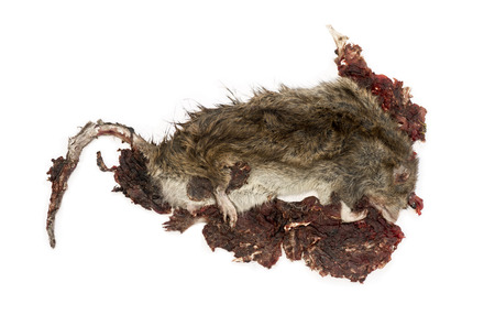 Roadkill Street rat in state of decomposition, Rattus norvegicus, isolated on white photo