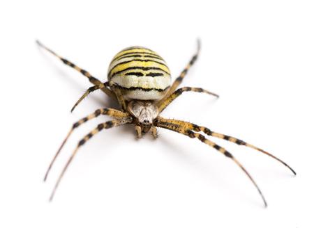 Wasp spider, Argiope bruennichi, isolated on white photo