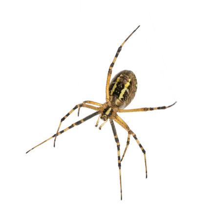 Wasp spider viewed from below, Argiope bruennichi, isolated on white photo