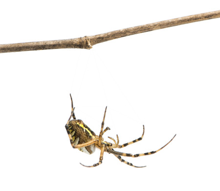 Wasp spider hanging from a branch, Argiope bruennichi, isolated on white photo
