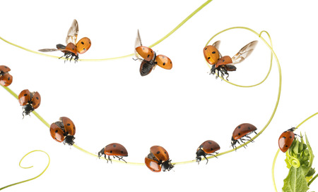 landed: Group of Ladybirds landed on a plant and flying, isolated on white Stock Photo