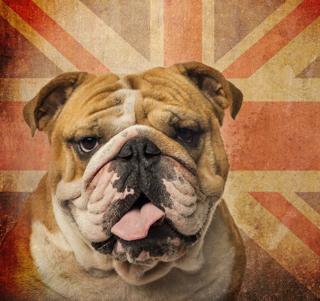 Close-up of an English Bulldog panting on a vintage UK flag background photo